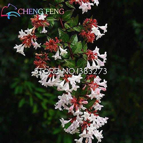 Big Promotions 20pcs / lot frais Graines Abelia Véritable Mini Flores Ampoules Graines Bonsai plantes pour jardin de fleurs