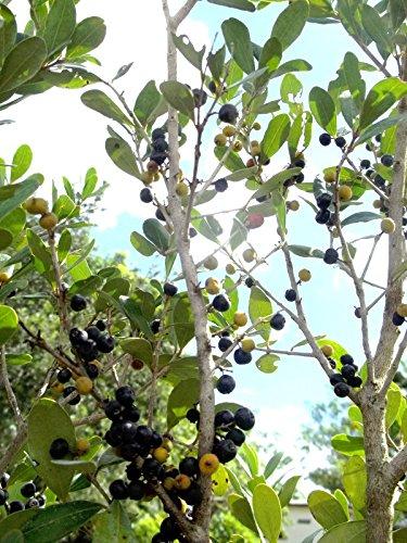 10 Semillas español tapón Eugenia foetida, Florida nativo salvaje árbol Bonsai Semilla