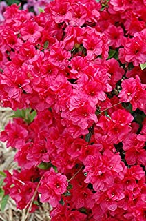 (1 Gallon) 'Hershey's Red' Azalea, Abundance of Stunning Red Blooms, Evergreen Shrub, Cold Hardy,Shipped in Gallon pot-12-20 inches Tall