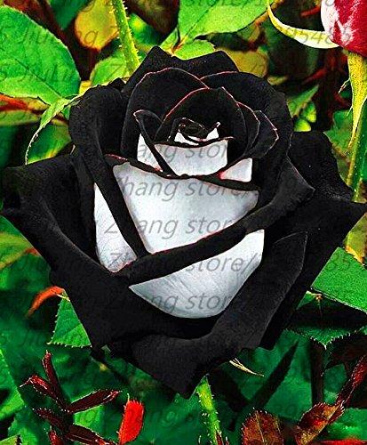 100pcs coloré Graines Rose avec bord rouge, couleur rare jardin populaire Graines de fleurs vivaces Bush ou Bonsai Fleur 3