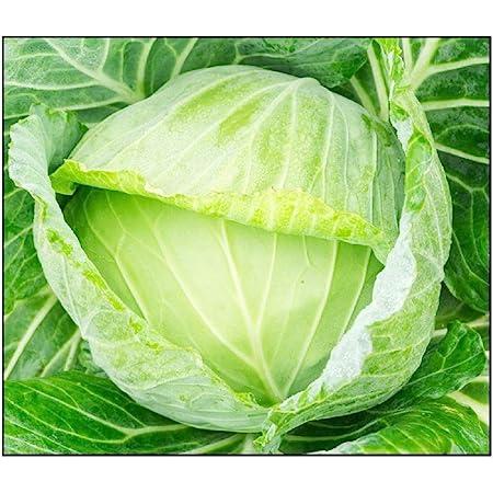 250 Golden Acre Cabbage Seeds | Non-GMO | Fresh Garden Seeds