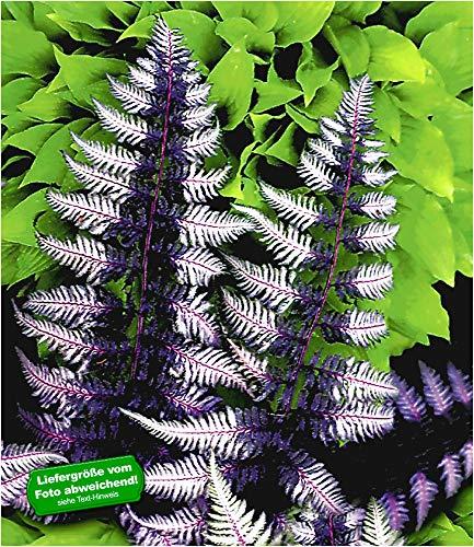 BALDUR Garten Winterharter Schmuck-Farn 'Japanese Painting', 1 Pflanze Athyrium Gartenfarn mehrjährig