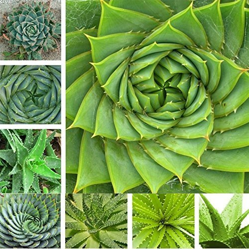 (Aloe XXX5 * Ambizu *) Aloe Hot vend des graines de plantes succulentes graines Bonsai par AMBIZU