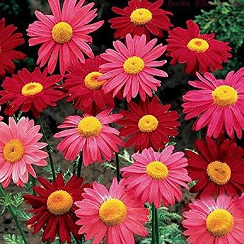 Eastbride Pflanzen für Balkon und Terrasse,500 Tannenzapfen-Chrysanthemensamen, mehrjährige kälteresistente Gartenblumensamen-Pyrethrum mit Frühlingssamen,samen für Hausgarten,Balkon,Terrasse