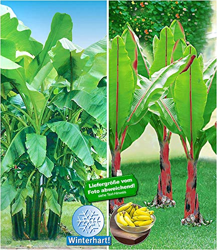 BALDUR-Garten Winterharte-Bananen-Kollektion Faserbanane Bananenbaum, 2 Pflanzen Musa basjoo Bananenpflanze