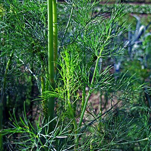 Dill (Anethum graveolens) 600 Samen Dille Gurkenkraut