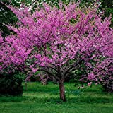 Live Beautiful Eastern Redbud Early Spring Blooms 2 Trees #AD01