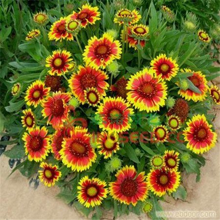 Semillas de flores Pinkdose®: Semillas de jardín Susan de ojos marrones Home Depot (2 paquetes) Semillas de plantas de jardín: Amazon.es: Hogar