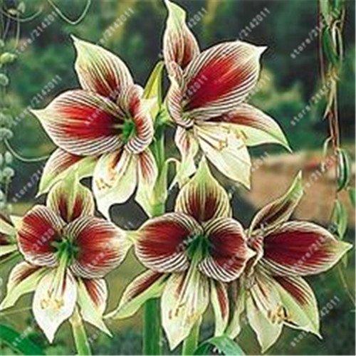 Echte Amaryllis Zwiebeln, Hippeastrum Glühbirnen Bonsai Blumenzwiebeln Amarilis Rizomas Bulbos Barbados Lily Bonsai-Garten planta -2 Birne 5 samen nur