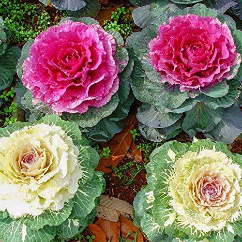 Zierkohl Mischfarben Brassica Oleracea Zierkohl Zierkohl Brassicas Samen 30+ Bio-Pflanzenblume für Bonsai Home Garden Yards Planting