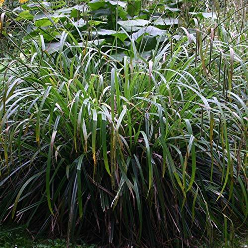 3 x Carex Pendula - Riesensegge Pflanzcontainer 3L