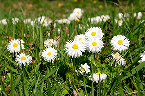 Gänseblümchen Bellis perennis 400 Samen