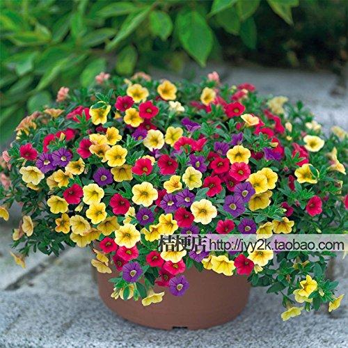 Petunia graines shuttlecock fleurs corne fleur de patate douce fleur bonsaï graines - 600pcs