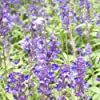 Futaba® Blu Salvia farinacea Labiatae perenni Erbe 100 semi #4