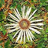 Lat. : Carlina Acaulis Famiglia: Asteraceae (Korbblüter) Syn. : Wetterdistel, Grande; Stengellose Eberwurz 20 Seme Heimat: Europa Occidentale fino a Mittelrussland