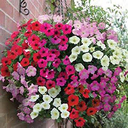 200 Graines Petunia Hanging rares semences de plantes ornementales Graines de fleurs Black Eye fleur pourpre avec bord blanc Maison Jardin des Plantes