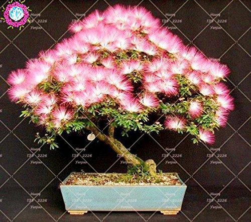 10 pcs Bonsai Albizia julibrissin Belle Graines de fleurs Acacia Graines de fleurs vivaces d'intérieur Plante en pot pour jardin 3