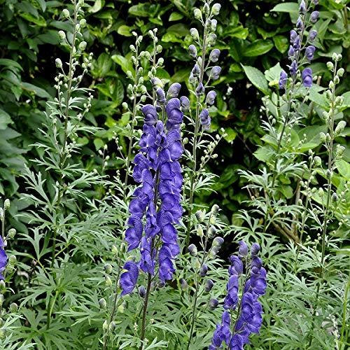 4 x Aconitum Henryi 'Spark'S Variety' - Monnikskap pot 9cm x 9cm