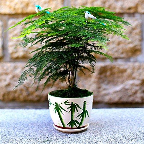 Bonsai plantes bambou en pot Graines bricolage jardin 30pcs Courtyard Pot Arbre