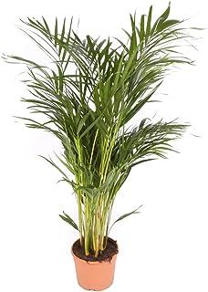 Areca maceta 17cm. - Altura total aprox. 80cm. - Planta viva - (Envío sólo a Península)