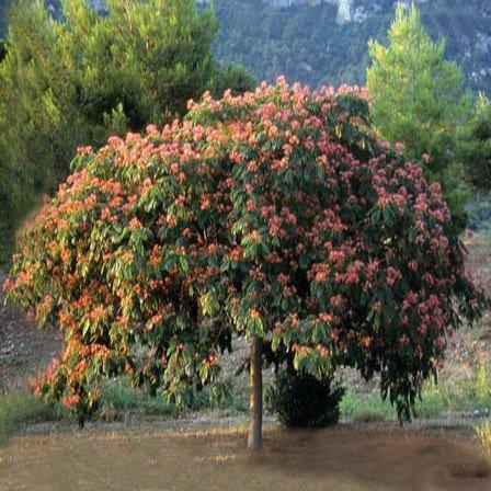 Plant World Seeds - Albizia Julibrissin Seeds