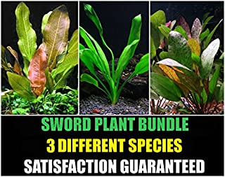 Sword Plants Bundle - 3 Species - Amazon, Red Flame, Kleiner Bar - Easy Aquarium Plants