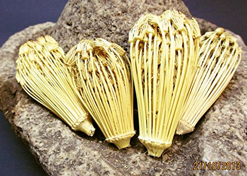 500 Samen Bischofskraut, Ammi visnaga, Berber Zahnstocher, Zahnstocherkraut
