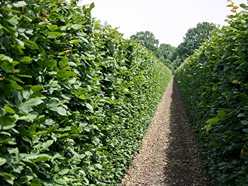 25 Stk. Hainbuche Hainbuchenhecke Wurzelware 30-50 cm hoch - Carpinus betulus - Garten von Ehren®