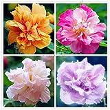 50pcs / bag Hibiscus mutabilis semillas de flor de casas y jardines perenne maceta plantas de flor del hibisco feliz granja de semillas de Bonsai