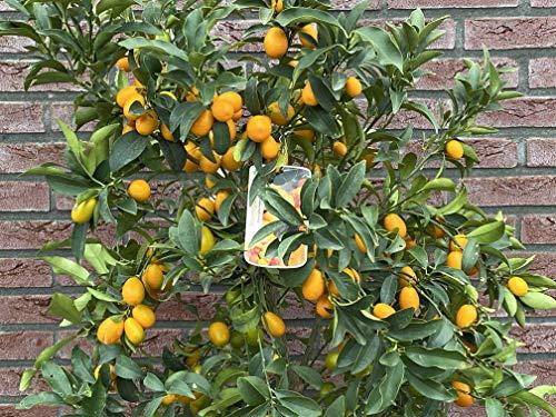 Citrus Kumquat - Citrus Fortunella Margarita - 130/150 cm