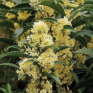 New Life Nursery & Garden / - / - Fudingzhu Fragrant Tea Olive ((osmanthus), Quart Pot,