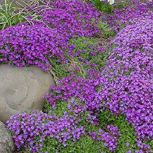 Aubretia cascade à grande fleur variée 150 graines