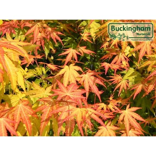 Acers Japanese Maples Amazoncouk