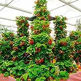 Yukio Samenhaus - Kletter-Erdbeere 'Hummi' lecker immertragend