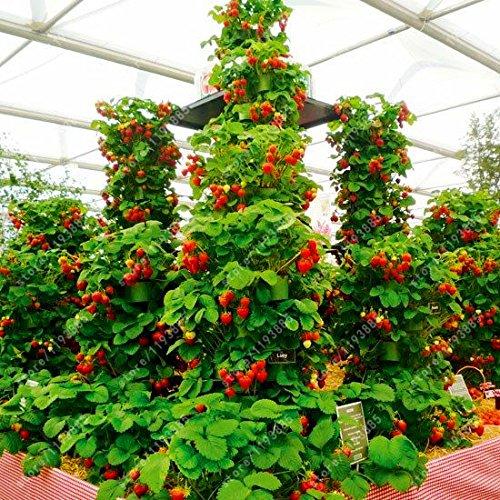 Yukio Samenhaus - Kletter-Erdbeere \'Hummi\' lecker immertragend, voll durchwurzelt, Erdbeeren im Garten, auf Balkon & Terrasse wintehart