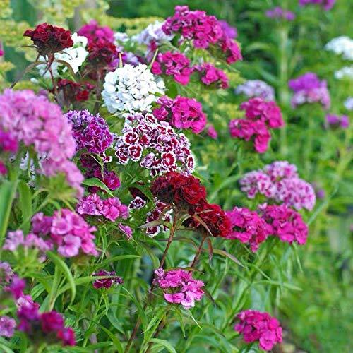 XINDUO mélange Fleurs graines,Graine de Fleur Multicolore Xiyin First Kiss Changxia-G0.25kg,Graines de Parfum rares