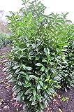 immergrüner Kirschlorbeer Prunus laurocerasus Genolia -R- 80-100 cm hoch im 5 Liter Pflanzcontainer