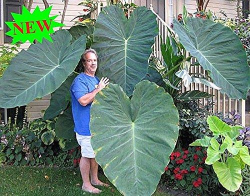 100PCS gigante elefante planta de oreja, fresco Colocasia Gigantea, SEMILLAS follaje enormes
