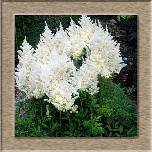 6 catégories de couleurs disponibles Astilbe Chinensis Seeds Graines Balcon Jardin en pot chinois Astilbe Fleur Un Pack 100 Pcs
