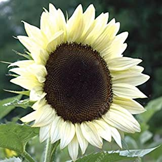 Earth Seeds Co 50 Pcs Sunflower Seeds 'Harlequin' F1 Hybrid Hardy Annual, A Wide Range of Popular Shapes and Colours,Ideal for beds and Borders