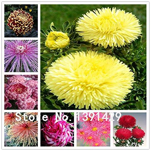 Graines 20pcs Chrysanthème Fleur, ornemental Bonsai, Rare en couleur, Nouveau Choisissez Plus chrysanthème Seeds Flower Garden plantes