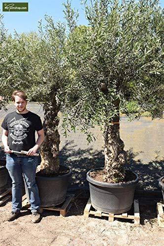 Olea europaea BONSAI - echter Olivenbaum - Größe 300+cm - Topf Ø 50cm - Speditionsware