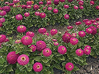 Zinnia Uproar Rose Annual Flowers Seeds 100 Pcs an