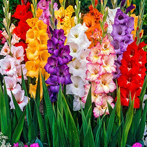 100x Gladiolus | Bulbi di Gladioli per giardini | Mix di bulbi a fioritura estiva | 6 cm