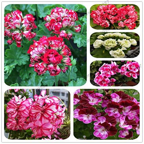 100% T-100Pcs Geranium Bonsai, Garten * Home Flowers Perennial Fleur Graine Geranie, Pelargonium Peltatum Bonsai, Zimmerpflanzen: Mix