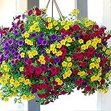 Maceta para Plantas de jardín/Interiores,Semillas de Flores Balcones,Flores fáciles de Cuatro Estaciones, balcón Interior en maceta-200 Granos_A