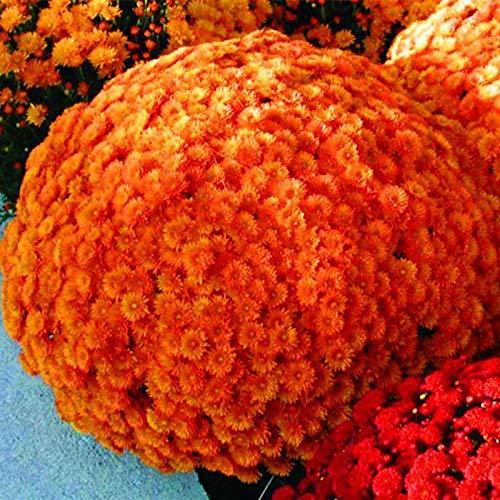 Soteer Garten - 100pcs Herbst-Chrysantheme Samen Busch Blumensamen Herbst Blumen Daisy Seeds langer Blütezeit Blütenmeer Saatgut für Garten Beet/Wiesen