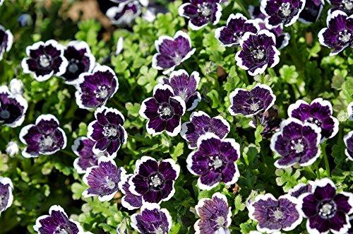 HAINBLUME 35 Samen ''Penny Black Nemophila Schwarz