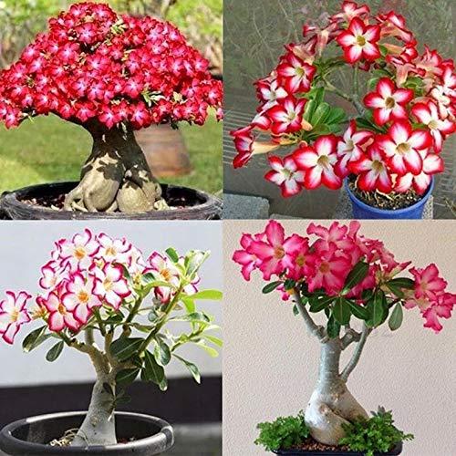 UEYR Desert Rose Semillas para Cultivar   10 Paquetes   Muy apreciado Bonsais florecientes   Adenium Obesum, 10 Semillas para Cultivar