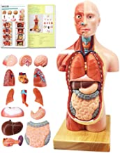 EVOTECH Human Body Model for Kids, 15 Pcs 11 inch High Human Torso Anatomy Model with Heart Head Brain Skeleton Model, Ages 8+, Medical Learning Tool,Preschool and School Education Display